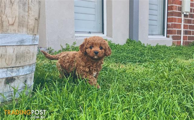 Gorgeous Red And White Toy Cavoodles