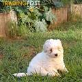 Last male Maltese cross puppy left