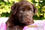 LABRADOR PUPPIES Chocolate and black available.