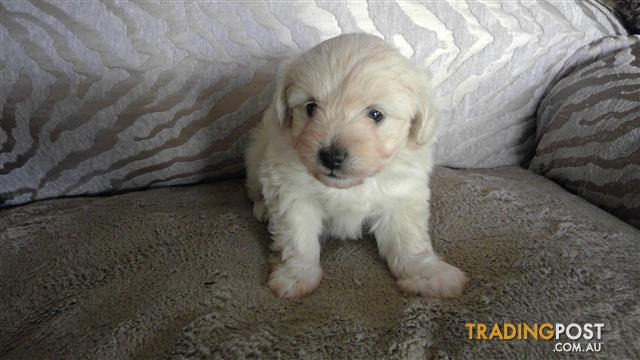 Choodle - Long hair Chihuahua X Toy Poodle