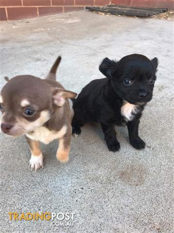 TINY PURBRED MALE CHIHUAHUA'S