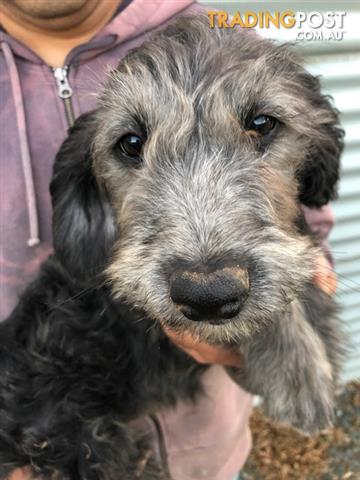F1 Aussiedoodle Puppies For Sale