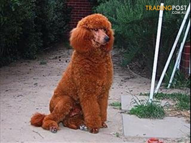 Standard Poodle at Stud for sale in Rochester VIC ...