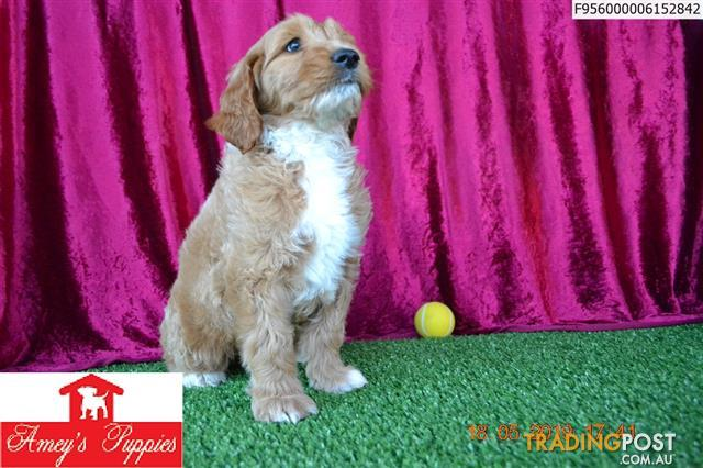 F1b Standard Groodle Puppies For Sale