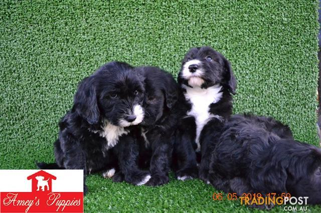 Sheepadoodle-puppies-for-sale
