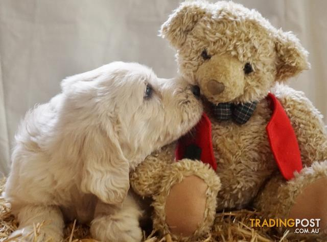 Teddy bear Groodle Puppies..Imported European lines.