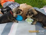 Our super cute mini schnauzer puppies