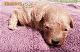 Our mini poodle male puppy