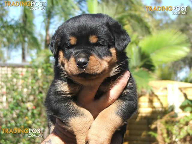 Find Rottweiler Puppies For Sale In Australia