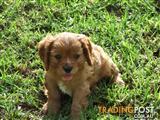 Pure Cavalier King Charles Spaniel Puppy