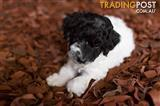 TOY SPOODLE PUPPIES FOR SALE