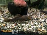 BRISTLE  NOSE  CAT FISH