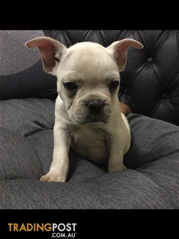 REGISTERED Purebred Cream/Blue Bulldog Puppies