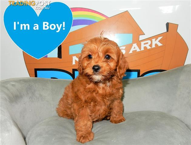 Red Apricot Toy Cavoodle Puppies Cavalier King Charles Spaniel X Toy Poodle