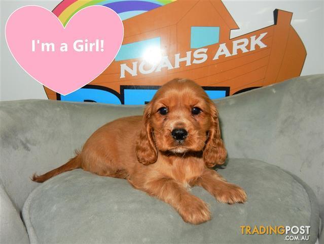 Boston-Terrier-x-Chihuahua-Cockalier-French-Bulldog ...