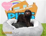 Spoodle (Cocker Spaniel x Toy Poodle) Puppies ! - 9831 3322