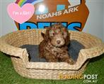 Beautiful Chocolate Poodle x Puppies- 9831 3322
