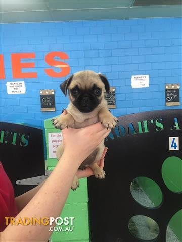 Pug x Puppies ! - Call now!
