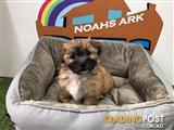 Maltese x Shihtzu puppies - 9831 3322