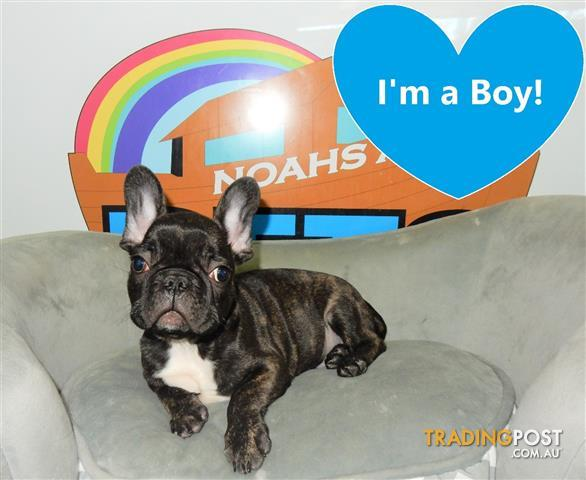 Cheap French Bulldogs For Sale In Ma