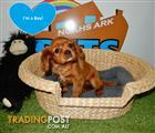 Cavalier Kings Charles Spaniel x puppies - 9831 3322