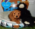 Cavoodle (Cavalier x Poodle) Ruby/Apricot - 9831 3322