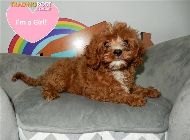 Gorgeous Red Toy Cavoodle Puppies