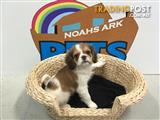 WEEKEND SPECIAL - Cavalier King Charles Spaniel cross puppies available 98313322