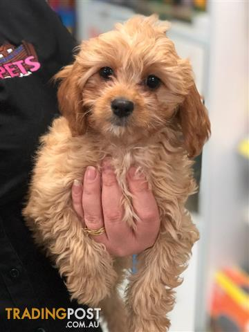 Mid Week Special Apricot Toy Cavoodle Puppies Toy Poodle X Cavalier King Charles Spaniel
