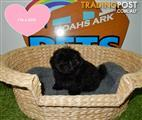 Adorable Shih Tzu Puppies! 9831 3322