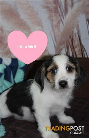 Beagle-x-Maltese-Puppies-Ready-to-go-Finance-Options-Available