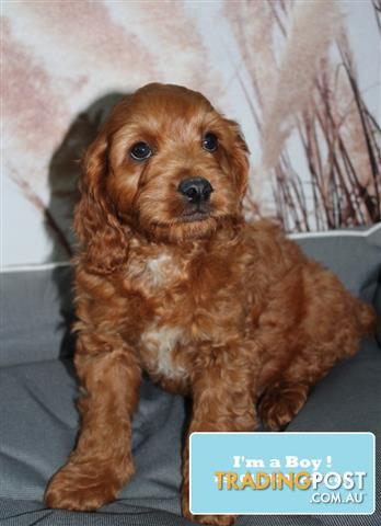 Cavoodle-Cavapoo-Puppies-DNA-Tested