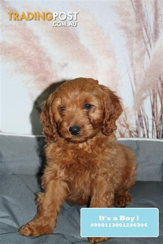 NEW-Cavoodle-Cavapoo-Puppies-DNA-Tested