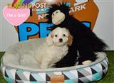 Cavoodle (Poodle x Cavalier King Charles) Blenheim - call now 9831 3322!!