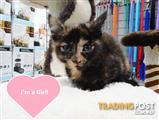 Domestic kittens available - Black or Tortie - call 9831 3322
