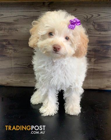 Reduced Toy Poodle X Puppies