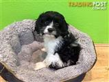 Cavoodle ( Poodle x King Charles Cavalier ) Female Puppy