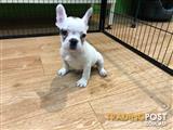 Pure Breed French Bulldog Female Puppy