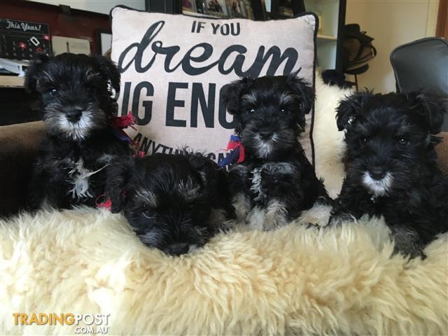 Purebred miniature schnauzer puppies for sale