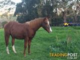 Flashy Registered paint Colt will swap for broodmare