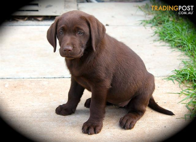 Registered Chocolate Labrador Puppies For Sale