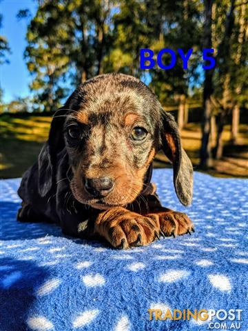 Find Dachshund Puppies For Sale In Australia