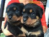 Pure Breed Rottweiler Puppies- one female left