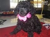 pure bred toy poodlex mini poodle