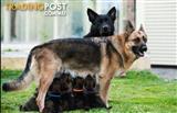 Pure German Shepherd puppies!!!!