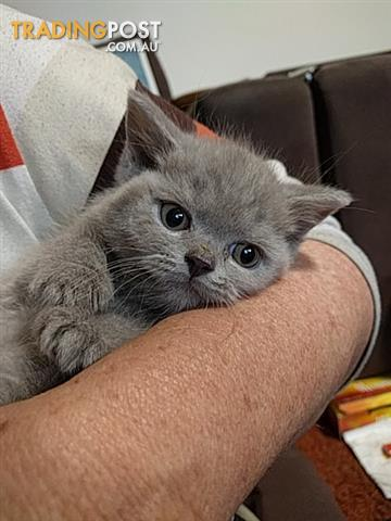 PUREBRED British shorthair kittens READY NOW Can deliver as far as Werribee