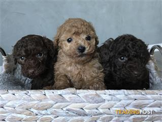 poodle | Find classifieds in VIC, Australia