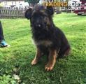 Cute German Shepherds Puppy Available