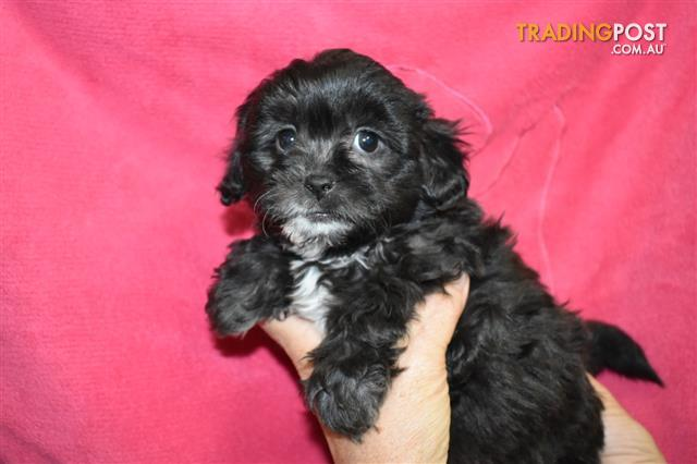 Shih Tzu X Toy Poodle Puppies At Puppy Pad 07 3209 9200