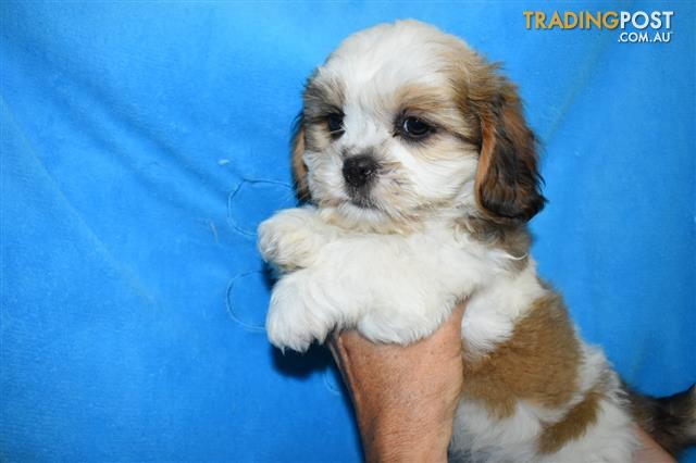 Maltese X Shih Tzu Puppies At Puppy Pad 07 3209 9200